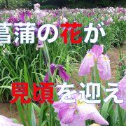 hanasyoubu