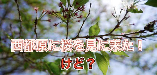 saitobarusakura